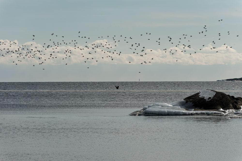Havsörn Knipor Sandhamn Trouville