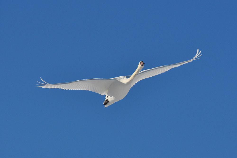 svanpinflygning