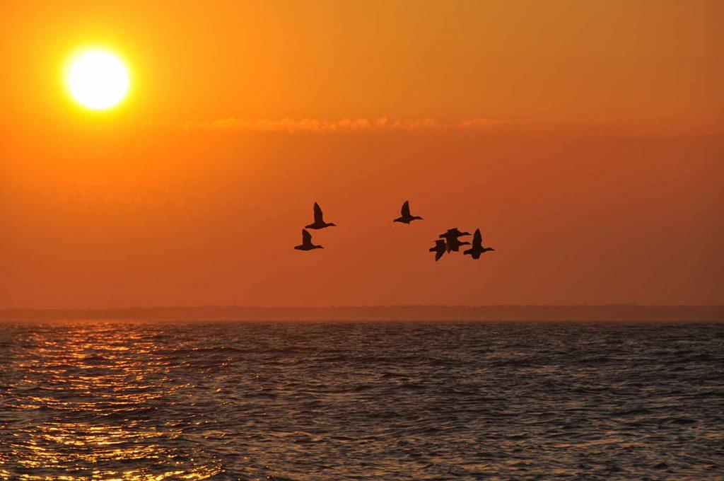 Ejdersträck i solnedgång